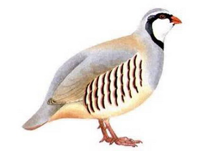 National bird of pakistan chukar red legged partridge